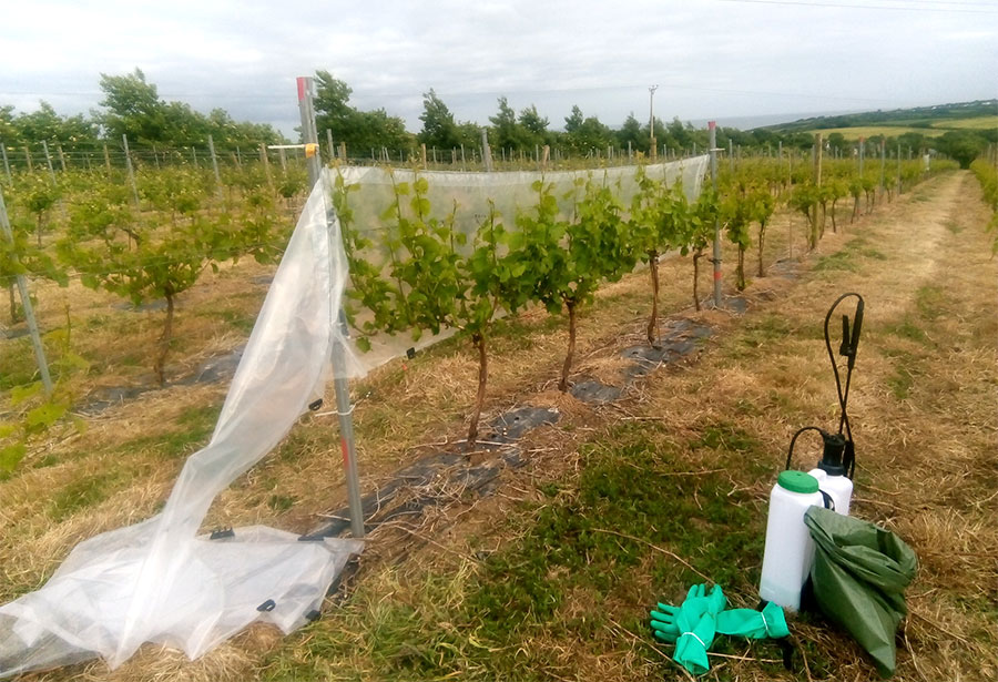 Botrytis battle in Viticulture